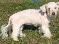 Bichon Frise - Yuki - Small - Senior - Female - Dog