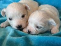Our Bichon Frise/Maltese - Malti-chon young puppies are