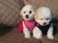 Bichons Frise Puppies 1 boy and 2 girls This breed is