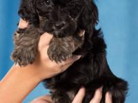 We are expecting Biewer Morkie puppies the end of