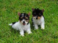 Biewer Parti Colored Yorkie Puppies. These adorable