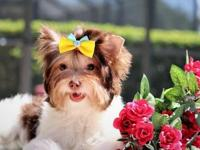 Beautiful girl, Biro Yorkshire terrier, color chocolate