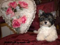 Sweet and Adorable! Male Biewer Yorkie Puppy for sale.