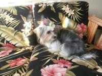 I have a beautiful rare breed Yorkshire Terrier Male