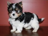 Three month old registered male biewer yorkie. Current