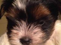 I have 2 Biewer Yorkie males for sale.  They are