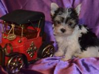 We have a beautiful male Biewer Yorkshire Terrier for