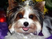 Champion sired Beautiful Biewer Yorkshire Terrier male