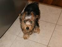 Biewer yorkies parents are IBC registers parents was