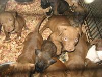 Red Nose Pitbull For Sale In Indiana Classifieds Buy And Sell In