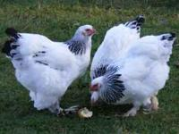 I have a Beautiful Pair of Light Brahmas Chickens I