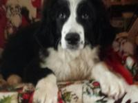 Stunning, big male Bernewfie dog is looking for caring
