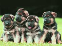 Impressive, stocky litter of AKC German Shepherd