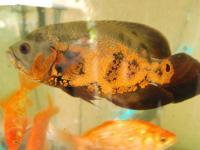 1 Oscar fish, 1 KOI fish, 7 Gold fish 2 plecos selling