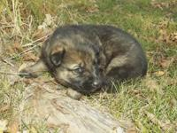 MK0303 Male...He is a Sable color and Gorgeous! He will