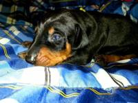 Gorgeous litter of Doberman puppies born 5/25/13, NOW