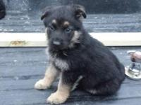 I have these purebred german shepherd puppies mom is