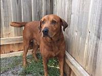 Big Red's story Goofy but super sweet 65 pound mix who