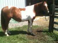 14yo 15.2H registered stocky paint mare. 1300 lbs. Huge