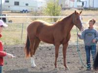 Chuck is a 3 yr old sorrel gelding. He is lightly