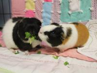 Biggie and Smalls are two adult American guinea pigs .