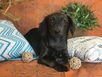 Bijous's story Bijous is a female doxie blend and is