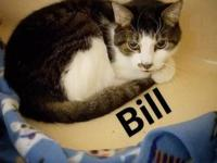 Bill's story 11 years old Domestic Shorthair-Tabby