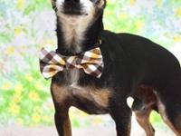 My name is Billy. I'm a male, black and tan Chihuahua