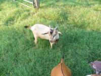 Young Billy Goat for sale to good home. 3 1/2 months