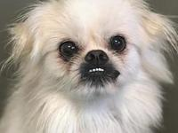 Billy's story Billy is an 8-9 year old Pekingese mix we