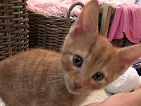 BillyTheKitten's story Description: Orange Tabby with
