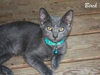 Birch's story Birch is an adorable solid gray kitten!