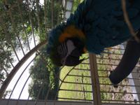 Birdie is an adult B&G Macaw, she enjoys destroying