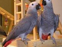 Birds African Grey Parrots. two pairs of congo african