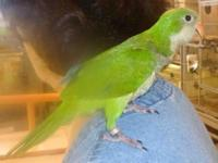 Baby Quaker parrot split to blue color with parents