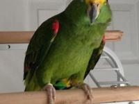 Yellow Nape Amazon, semi tame, 3 years old, talks,
