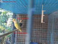 Selling about 30 lovebirds. Raised on large outdoor