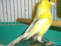 Canary, blind, eats good, can perch, you can have him