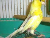 Canary, blind in one eye, eats good, can perch, you can