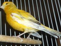 Canary, deep yellow, think it is a boy but not 100%