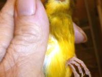 Gloster Canary, young, comes with cage and all