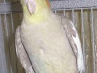 Female cinnamon cockatiel, young but not hand tame,