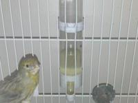 One female canary a little over a year old, only bred