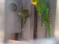 I am rehoming most of my birds. Indian ringnecks 300