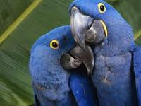 We offer parrots for sale.We have the macaws-blue and