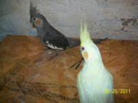 Description Birds for sale.....Cockatiels Latino's