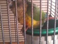 1. A 2 year old female Yellow Sided Green Cheek Conure