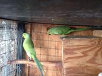I have a couple birds for sale Ring neck pair $265.00