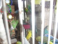 I have for sale several parakeets $10 each also handfed