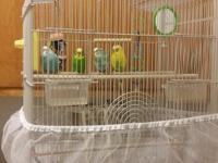 Four parrket birds with nice new cage. They come with